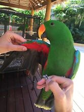 Beautiful, friendly 3 year old male Ecelectus Bird Salter Point South Perth Area Preview