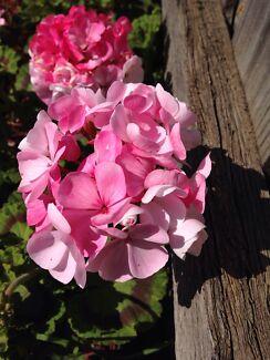 Geranium pink  Altona Meadows Hobsons Bay Area Preview