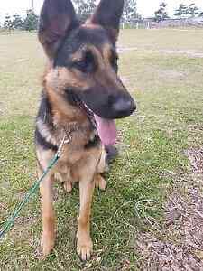 German Shepherd Pup Helensvale Gold Coast North Preview