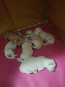 6 Pomchi (75% Chihuahua 25% Pomeranian) puppies