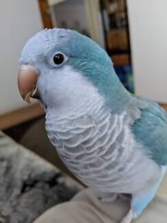 Lost Parrot (Quaker Blue)