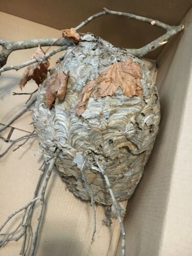 Med-Lg Bald Face Paper Hornet Nest Taxidermy Nature Science Decor 16+ inch Bees