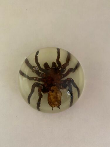 Tarantula paperweight in half dome resin glow in dark the real thing scary