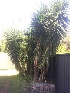 FREE Yucca plants Carlton Kogarah Area Preview