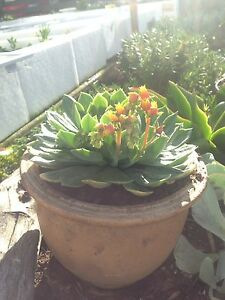 Flowering Echeveria in 20cm Terracotta Pot $15 Huonville Huon Valley Preview