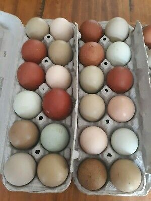 6+ Fertile Chicken Hatching Eggs - Assorted  possible frizzle & Olive Egger