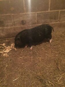 Female mini pig