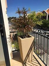 Draceana Plant - several heads East Perth Perth City Preview