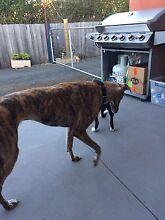Greyhound Triabunna Glamorgan Area Preview