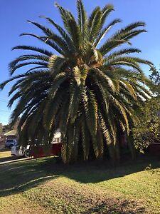 Mature Canary Island Date Palm Cambridge Park Penrith Area Preview