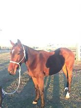 Quarter horse stock horse X gelding 3000 neg Colinton Somerset Area Preview