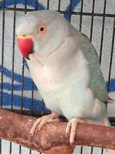 Turquiose male Indian ringneck Yass Yass Valley Preview