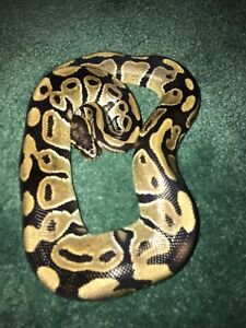Ball python plus tank and everything inside