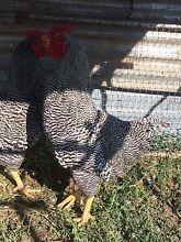 Plymouth Rock Cockerels Delungra Inverell Area Preview