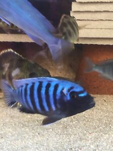 Kingsize cichlid for sale Liverpool Liverpool Area Preview