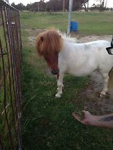 Pony for sale Rosedale Wellington Area Preview