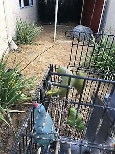 Indian ringnecks Southern River Gosnells Area Preview