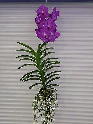 Vanda    V  Pats Delight     South Florida Grown