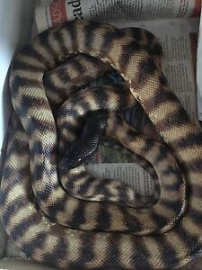 Black headed pythons Southport Litchfield Area Preview
