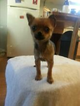 chihuahua teacup style female Hurstbridge Nillumbik Area Preview