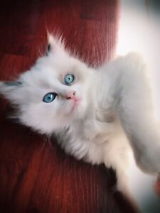 ****SOLD ****beautiful girlie 3/4 ragdoll 1/4 himi