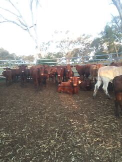180 weaners  Toowoomba 4350 Toowoomba City Preview