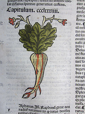 Incunable Leaf Hortus Sanitatis Botany Radish Colored Woodcut Venice  1500
