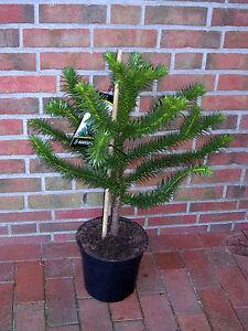 Araucaria araucana, Höhe: 80-85 cm, Andentanne, Schmucktanne, Affenschaukel