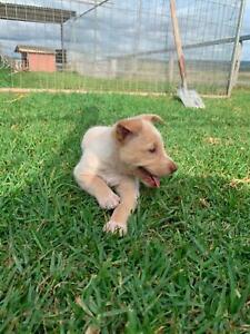 Kelpie x working dog pup boy