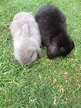 Dwarf rabbits Casino Richmond Valley Preview