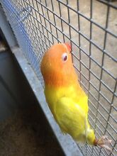 Birds for sale start from $5 Georges Hall Bankstown Area Preview
