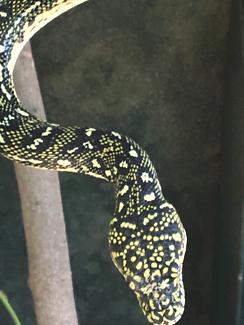 High yellow diamond python hatchies