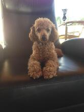 Purebred Male Red Toy Poodle nearly 2 years old Little Mountain Caloundra Area Preview