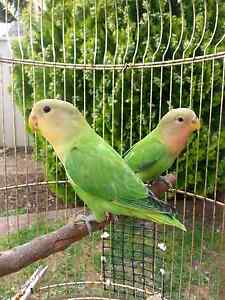 Pair of lovebirds Craigmore Playford Area Preview