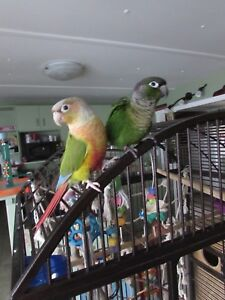 2 year old Conures