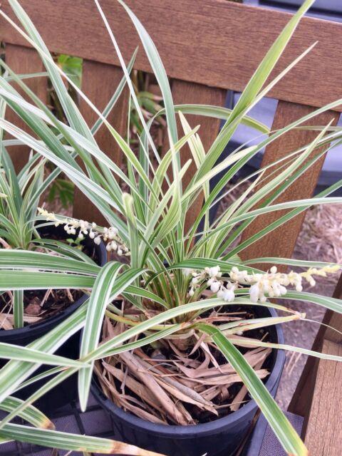 Liriope Variegated White Flower Plants Gumtree Australia Gold