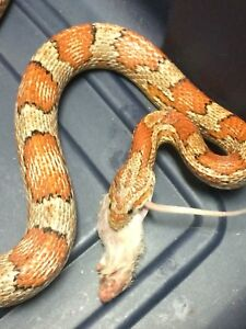5 foot corn snake vary gentle lots of hand time