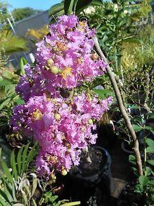 Crepe Myrtle - Lagerstroemia varieties West Ballina Ballina Area Preview