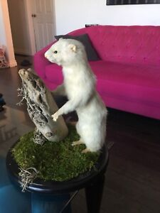 White weasel - hunters prize
