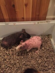 2 Male Skinny Pig Brothers