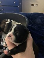 Boston terriers  ( all have homes )