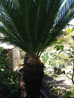 Plant for sell! 2 cycad in pot!