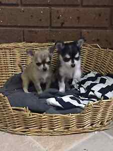 Chihuahua puppies Yarra Glen Yarra Ranges Preview