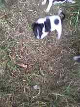 Foxi pups for sale Horsley Park Fairfield Area Preview