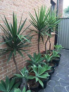 Yucca aloifolia Casula Liverpool Area Preview