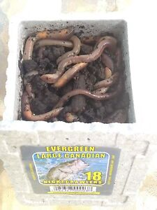 Worms for fishing bait