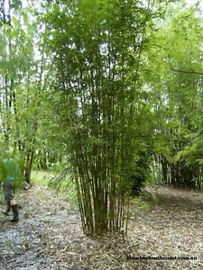 Bamboo Gracilis 200mm pot slender weavers bamboo Screening plants Berry Shoalhaven Area Preview