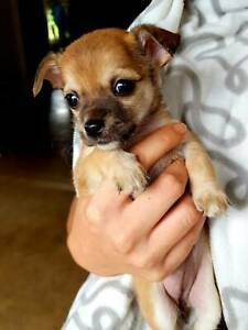 Mini Foxy X Chihuahua Dogs Puppies Gumtree Australia Gympie