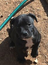 English staffy pups Boort Loddon Area Preview