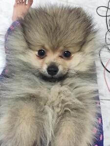 Lost Pomeranian puppy;( Cabramatta Fairfield Area Preview